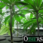 tn IMG 20991 150x150 California CA Medical Marijuana Grow Consultations/Consultant