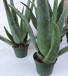 Shop Succulents | Aloe Vera Collection of Live Plants, Hand Selected Variety Pack of Mature Aloe Vera | Collection of 3